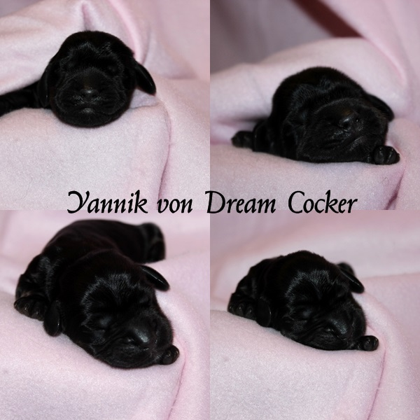yannik dream cocker