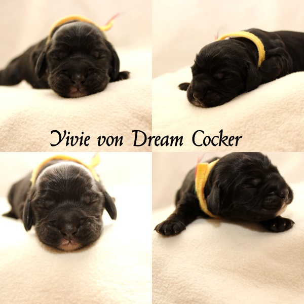 yivie dream cocker