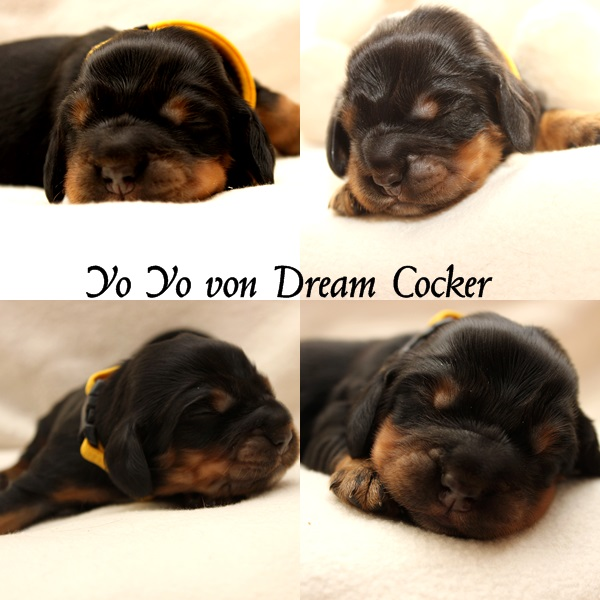 yo yo von dream cocker
